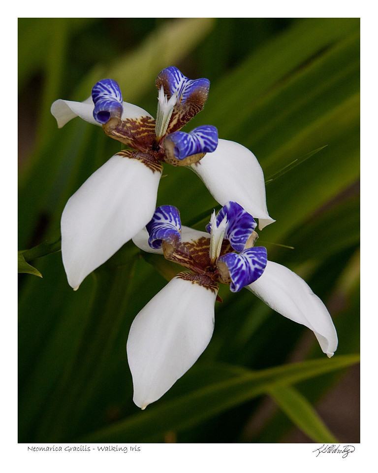 Walking Iris (Neomarica Gracilis) found in Ecuador