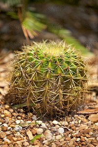 Golden Barrel Cactus (Echinocactus grusonii); native to central Mexico, at the Jacksonville Zoo and Gardens.