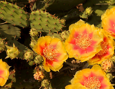 Eastern Prickly Pear, Indian Fig, Prickly Pear; Prickly Pear Cactus; Rabbit Ears Cactus (Opuntia humifusa).