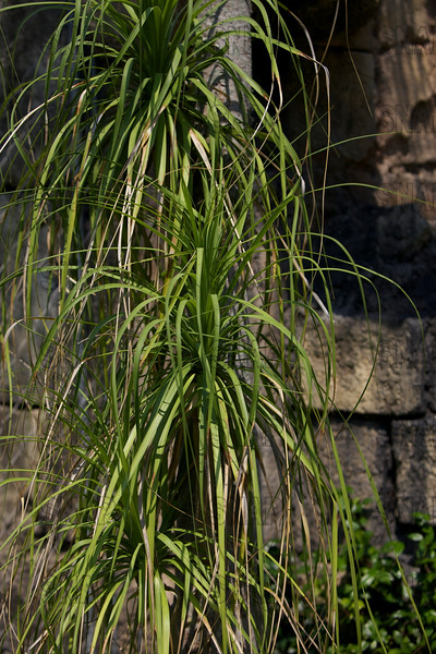 Ponytail Plant or Ponytail Palm (Beaucarnea recurvata); Native to tropical America, at the Jacksonville Zoo and Gardens.