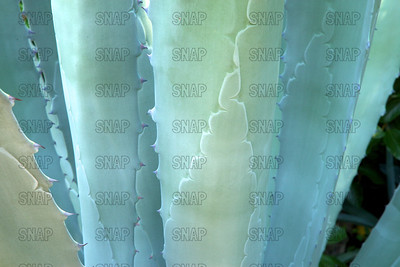 Century Plant; Maguey; American Aloe (Agave americana); native to eastern Mexico, at the Jacksonville Zoo and Gardens.