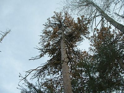 A sugar pine killed by the beetle.  Blue Jay, 27 Nov 2003.