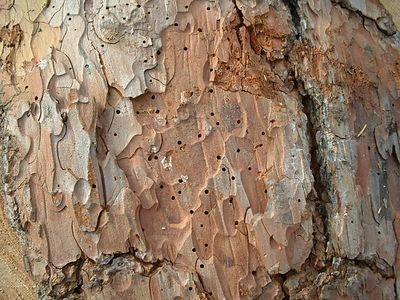 Close-up of bark  beetle bore holes. Blue Jay, 27 Nov 2003.