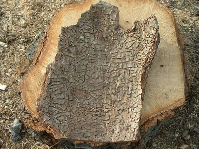 The inside of a piece of  ponderosa pine bark, showing bark beetle damage.  The beetles feed on the cambium of the tree, which is the growing part just inside the bark. Blue Jay, 27 Nov 2003.