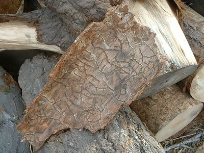 Anothe piece of damaged ponderosa pine bark.