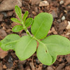 Dysoxylum fraserianum (Rosewood, Rose Mahogony)