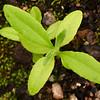 Acronychia wilcoxiana (Silver Aspen)