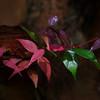 Syzygium australi