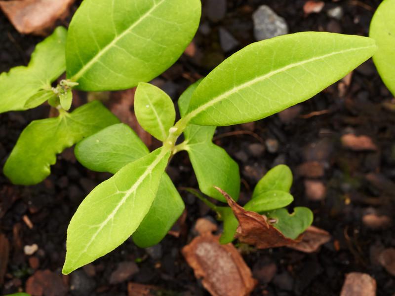 Flindersia bennettiana (Bennett's Ash)