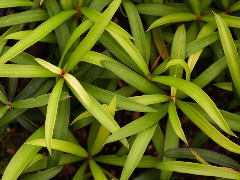 Podocarpus elatus (Plum Pine)