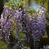 Purple blossoms of a wisteria hang down like grapes