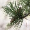 Ponderosa Pine Cone SS5140