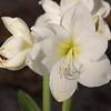 White Amyrillis SS0633