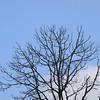 Dead pine tree against a blue sky
