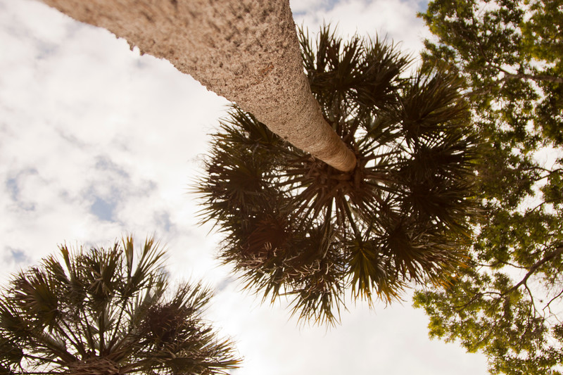 Tall cabbage palm_SS9660