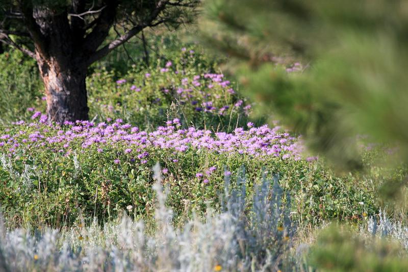 Lavendar Flowers in MT_SS9925