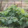 Soda apple plant