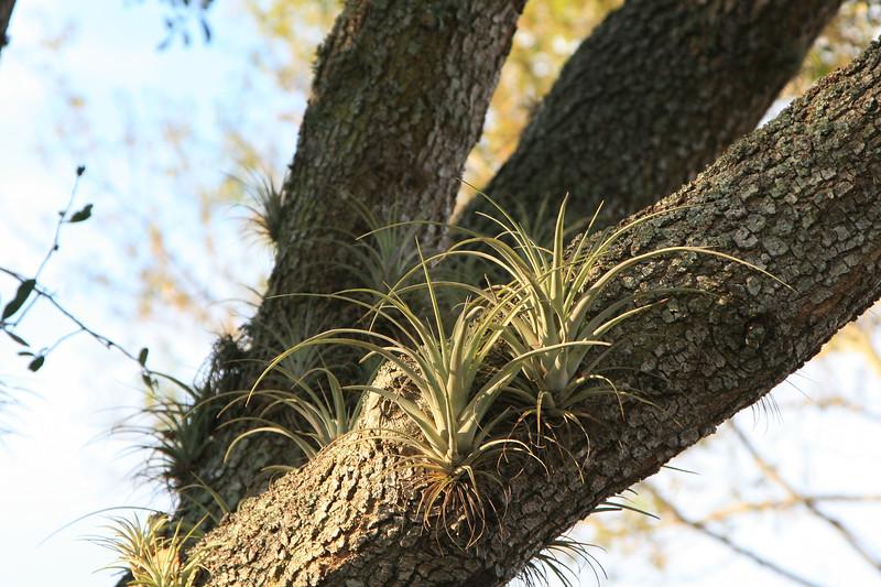 Wild Bromeliads SS9205