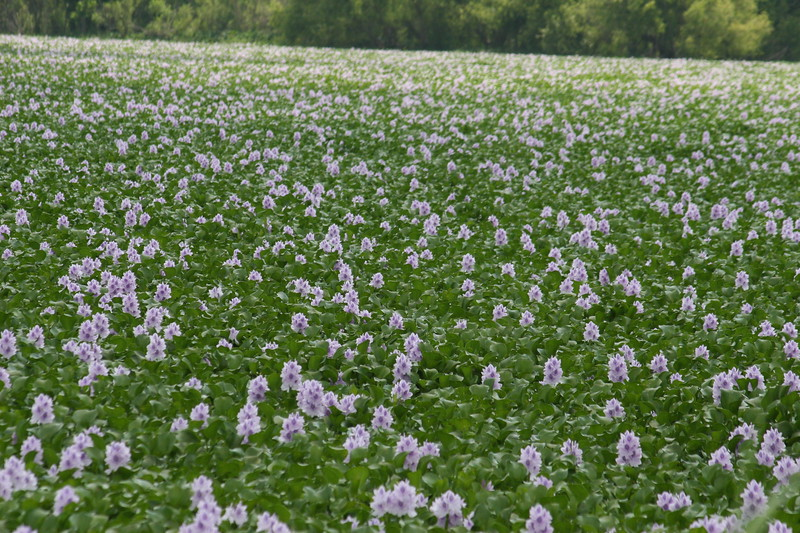 Water hyacinths with lavendar blooms quickly clog waterways in the south