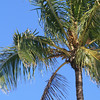 Coconut palm tree in Florida