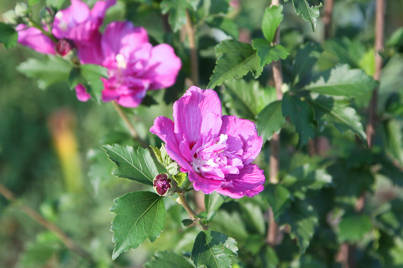 Rose of Sharon SS5930