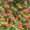 Blooming bottle brush tree_SS093437