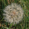 Dandelion Seeds SS0055