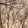 Pecan Trees No Leaves_SS0917