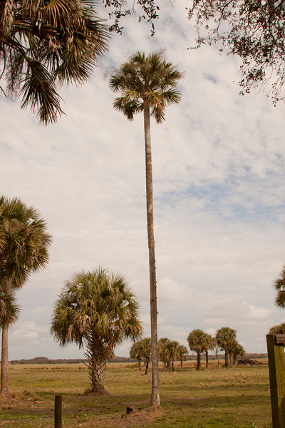 Tall cabbage palm_SS9641