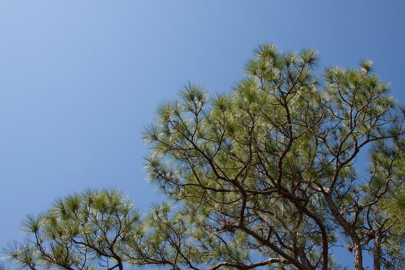Pine Tree_Blue Sky_SS8296