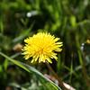 Dandelion Blossom SS5615