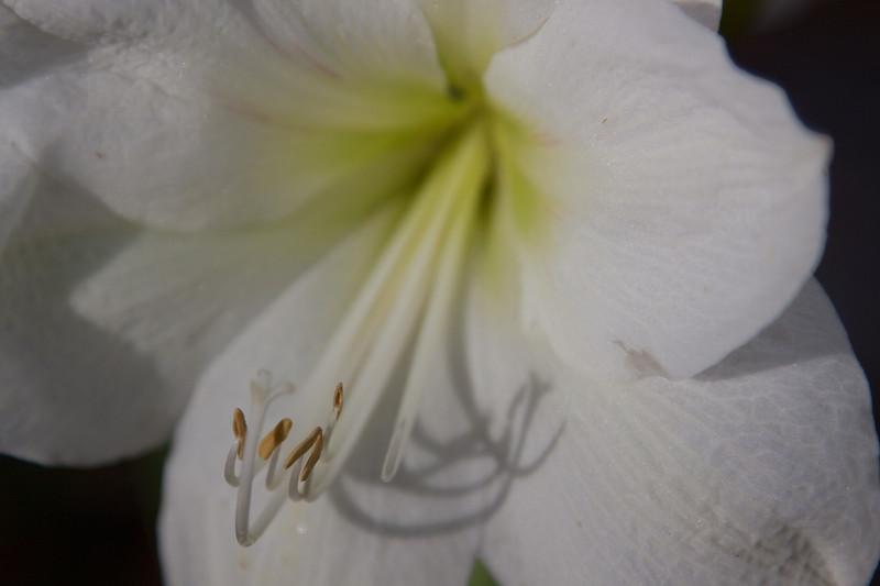 White Amaryllis_SS0636