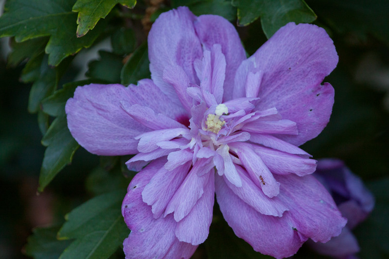 Rose of Sharon SS3671