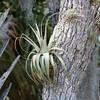 Wild Bromeliad SS2122