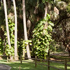 Pothos on Cabbage Palms SS0807