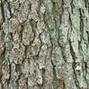 Pine Bard_SS2657