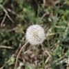 Dandelion Seed Pod SS9283