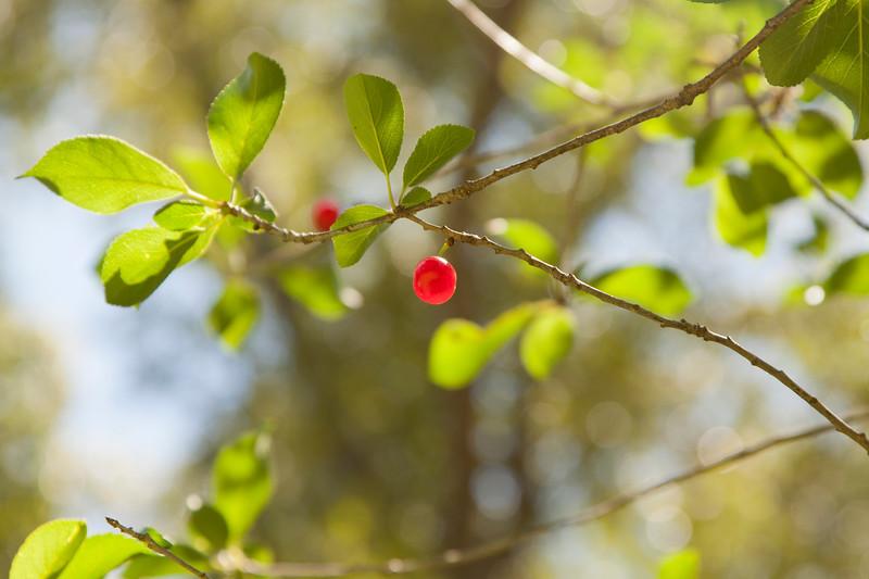 Cherries_SS2715