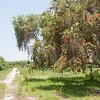 Large bottlebrush tree_SS093433