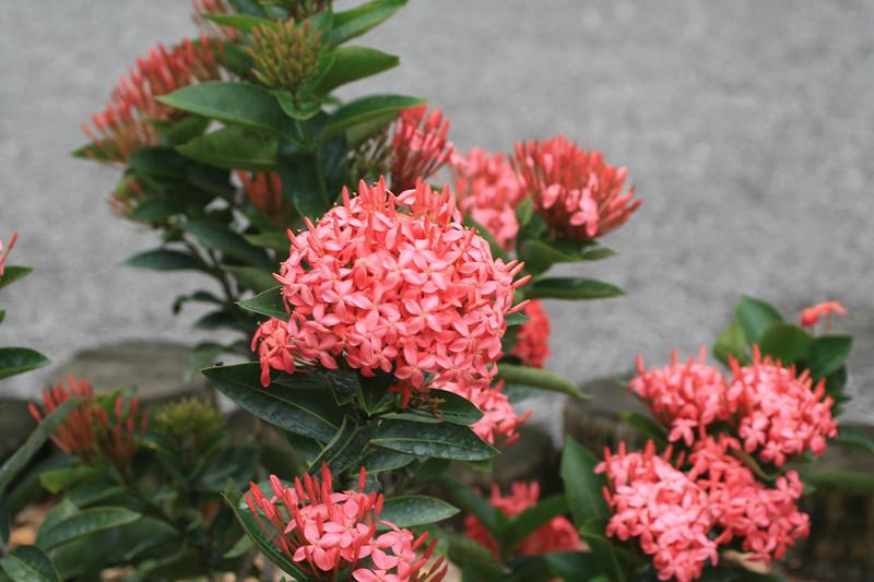 Ixora Blooms SS4449