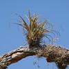 Wild Bromeliad SS2123