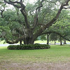 Large liveoak tree spreads out wide