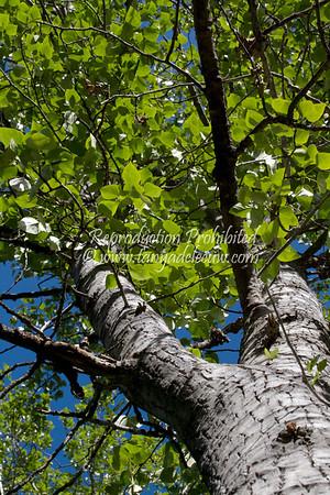 Cottonwood. Panorama, June 2012