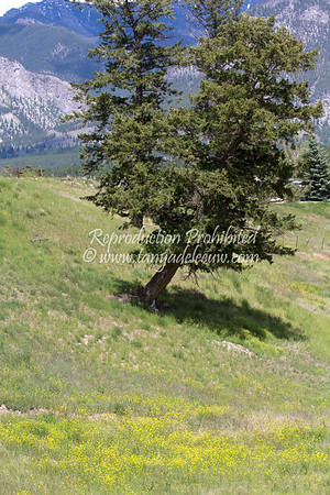 The leaning tree on Peter's Hill, Invermere. June 2012