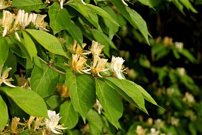 Honeysuckle Bush (Lonicera tatarica).