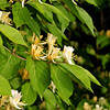Honeysuckle Bush (Lonicera tatarica).