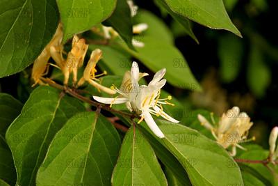 Honeysuckle Bush (Lonicera tatarica) closeup.