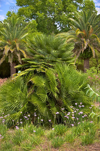 European Fan Palm or Mediterranean Fan Palm (Chamaerops humilis); native to Southwestern Europe and Africa, at the Jacksonville Zoo and Gardens.