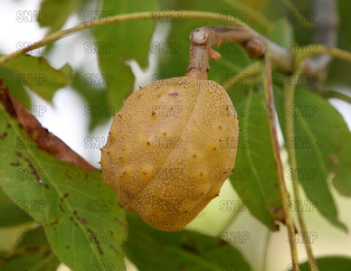 Close-up of a Buckeye (Aesculus sp.) in the hull.  The fruit, and twigs are poisonous.
