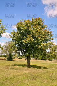 Buckeye Tree (Aesculus spp.).  The fruit, and twigs are poisonous.